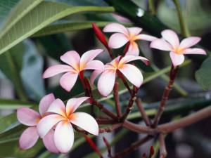 Zbli?enie kwiatów frangipani.